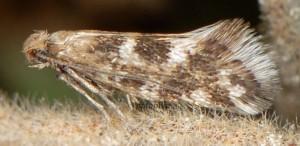 Crinopteryx familiella 13 1