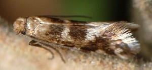 Crinopteryx familiella 13 2