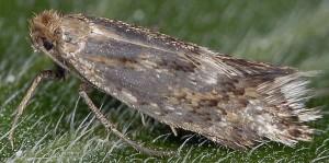 Crinopteryx familiella 2