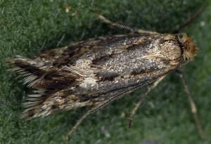 Crinopteryx familiella 3