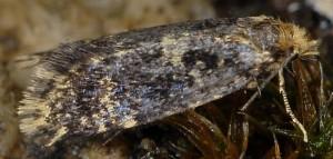 Diplodoma laichartingella 3