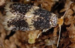 Ectoedemia albifasciella 83 1