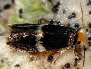 Ectoedemia-angulifasciella-06-4