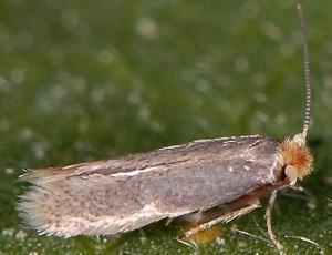 Ectoedemia euphorbiella 06 3