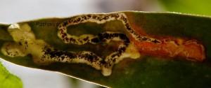 Ectoedemia euphorbiella mine 06 2