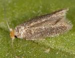Ectoedemia liguricella (I)
