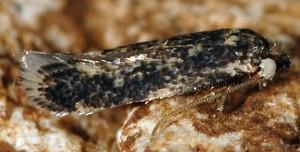 Ectoedemia longicaudella 83