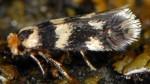 Ectoedemia louisella (I, G)