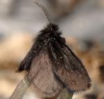 Epichnopterix sieboldi (I)