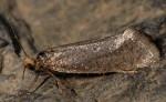 Eriocottidae