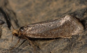 Eriocottis nicolaeella 3