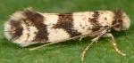 Eudarcia glaseri (I, G)