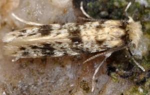 Eumasia parietariella 2