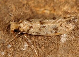 Eumasia parietariella 6