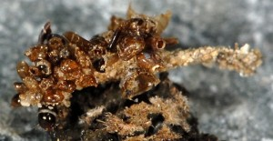 Eumasia parietariella L5 2