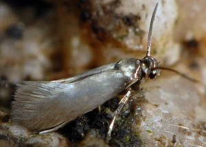 Heliozela lithargyrellum 2