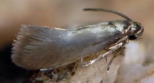 Heliozela lithargyrellum 3