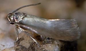 Heliozela lithargyrellum 4