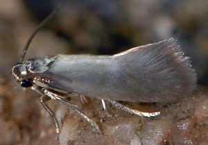 Heliozela lithargyrellum 5