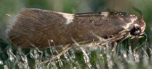 Heliozela resplendella 4