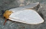 Hepialus humuli (I)