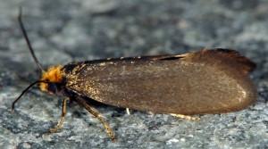 Incurvaria koerneriella 4