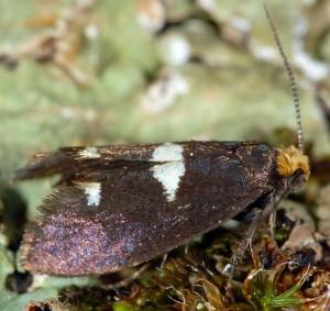 Incurvaria masculella 4