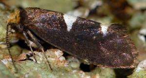 Incurvaria masculella 5