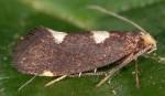 Incurvaria oehlmanniella (I)