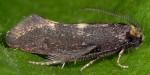 Incurvaria pectinea (I)