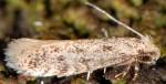 Infurcitinea italica (I, G)