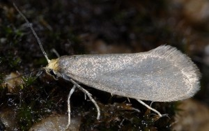 Lampronia fuscatella 1