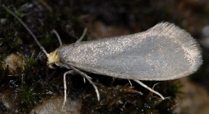 Lampronia fuscatella 2