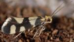 Lampronia rupella (I)
