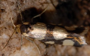 Lampronia rupella 3
