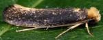 Monopis nigricantella (I)