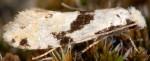 Nemapogon clematella (I)