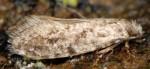 Nemapogon koenigi (I)