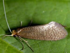 Nematopogon adansoniella 2