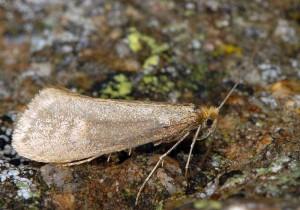 Nematopogon argentellus 1
