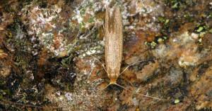 Nematopogon argentellus 3
