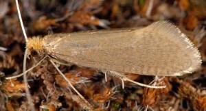 Nematopogon schwarziellus 1