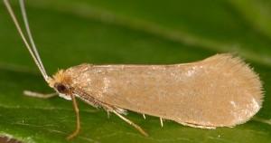 Nematopogon swammerdamella 3