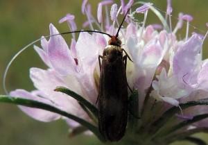 Nemophora metallica 2