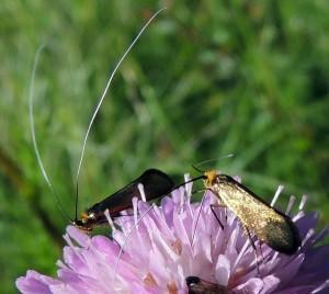 Nemophora metallica 3
