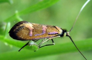 Nemophora pfeifferella 5