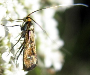 Nemophora pfeifferella 6