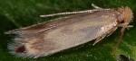 Novotinea liguriella (I)
