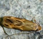 Oinophila v-flava (I)