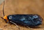 Paraclemensia cyanella 06 1